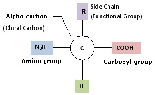 Amino Acids - structure, advantages, properties ...